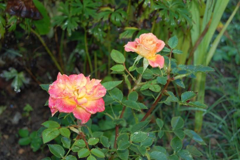 roser-web